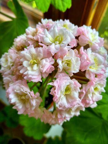Сортові пеларгонії,вкорінені живці,квітучі кущі