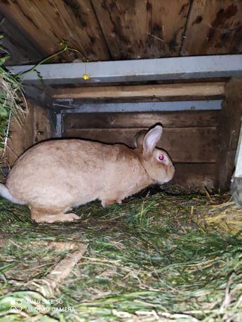 Sprzedam samca królika