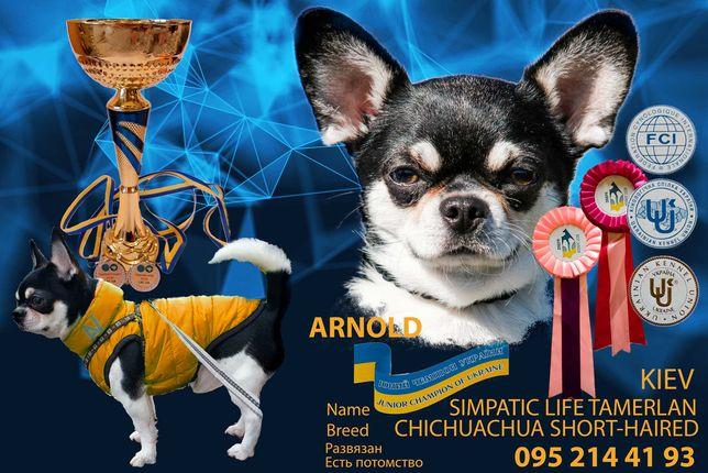 Чемпион чихуахуа для вязки