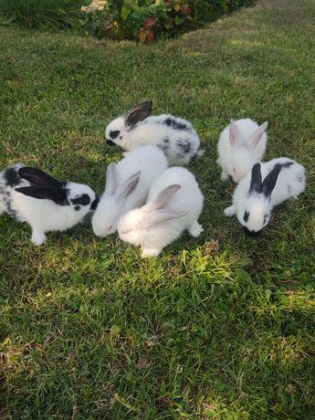 Sprzedam króliki