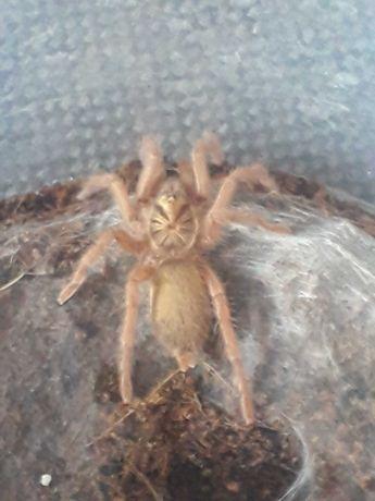 Sprzedam pająka Neoholothele incei GOLD