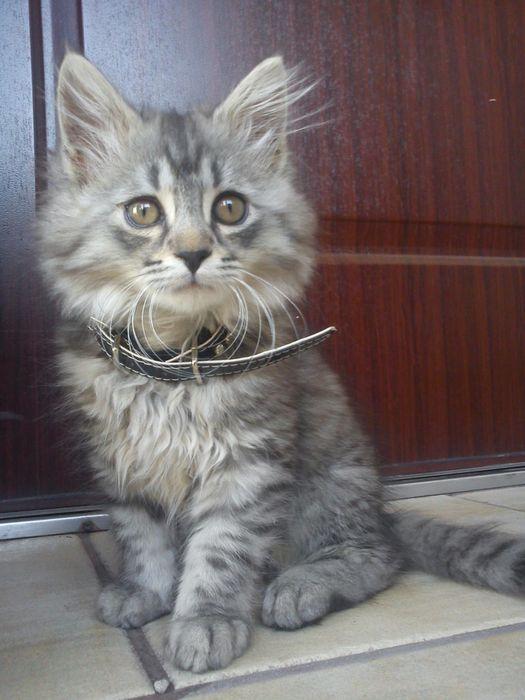 Kotek z dluga sierscia Rypin - image 1