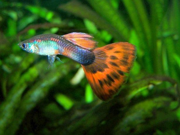 Рыбки гупики вуалевые