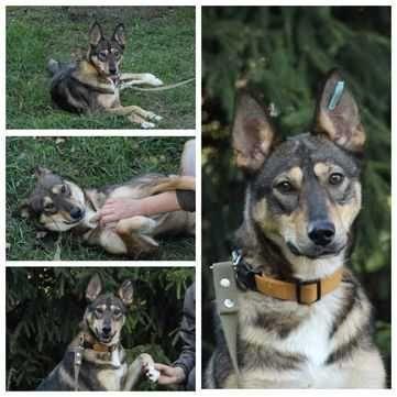 Активная, умная собака Ариша, возраст 1 год