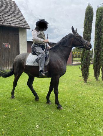 Polski koń szlachetny półkrwi skarogniada klacz
