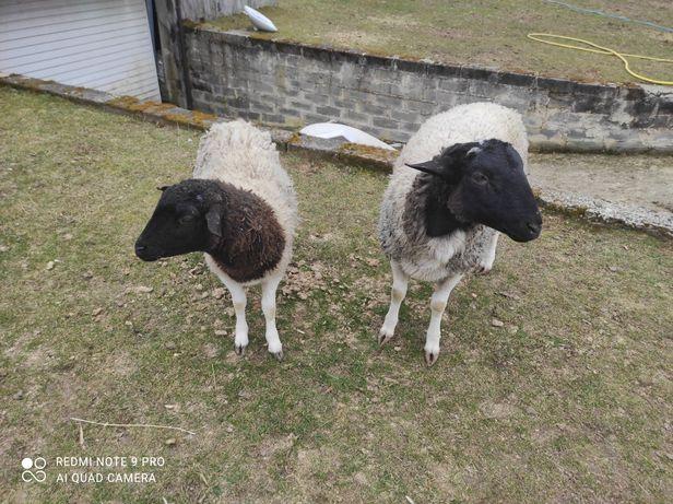 Sprzedam owce Czarnogłówki i Dorper