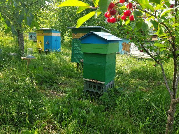Продаю бджоли,відводки,сім'ї