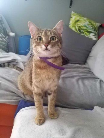 Tygrysia około 2 letnia, oswojona kotka do adopcji
