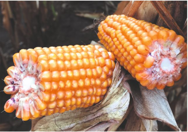 ES Zorion Euralis 2021 Nasiona kukurydzy !!!