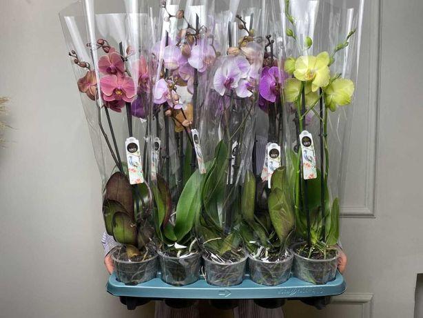 Орхідея фаленопсис (Орхидея фаленопсис)