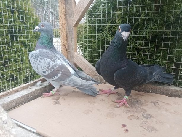 Gołębie pocztowe para