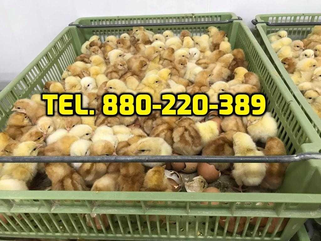 Kurczaki pisklęta mięsne, kury nioski, kaczki, perliczki + WYSYŁKA