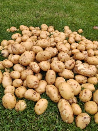 Ziemniaki jadalne młode denar