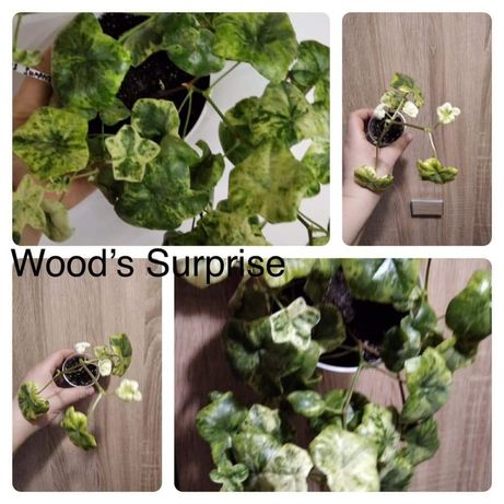 Продам пеларгонию Wood's Suprise  х