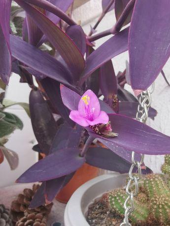 Tradescantia pallida (rose) planta