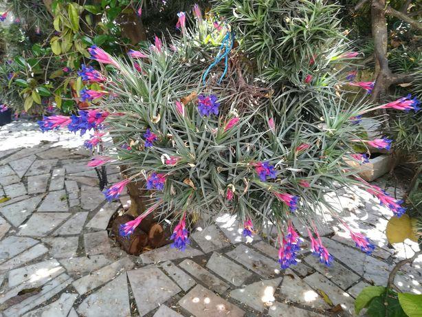 Plantas Aéreas da Madeira com flor.