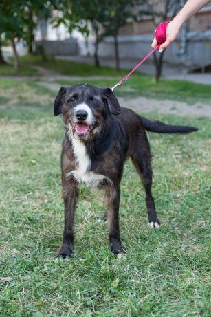 Жизнерадостный пёс/собака метис драгхара Володя ( 1,5-2 года) добрый