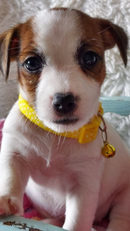 Jack Russell Terrier suczki  rodzice ZKwP FCI