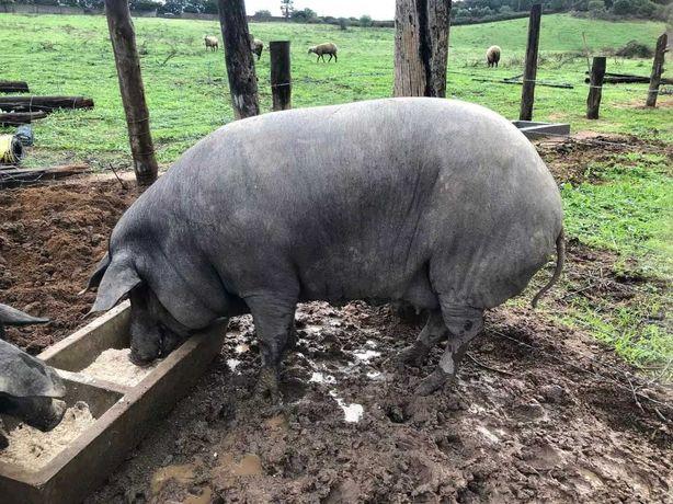 Os porcos que andam na fazenda se alimentam de grãos puros.