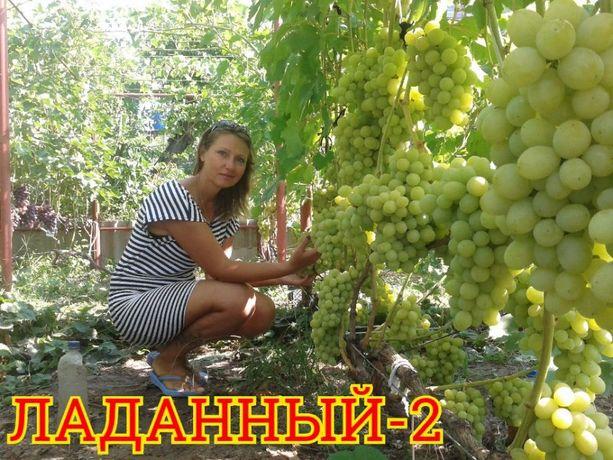 Саженцы винограда. Черенки.