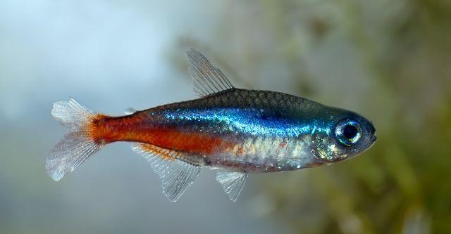 Neon inesa rybki akwariowe