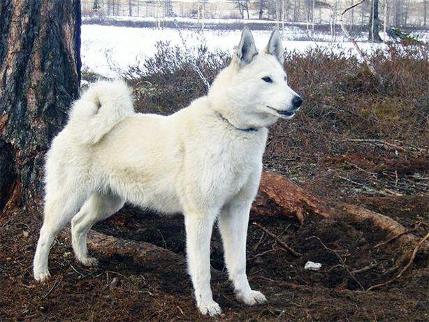 Западно Сібірська Лайка
