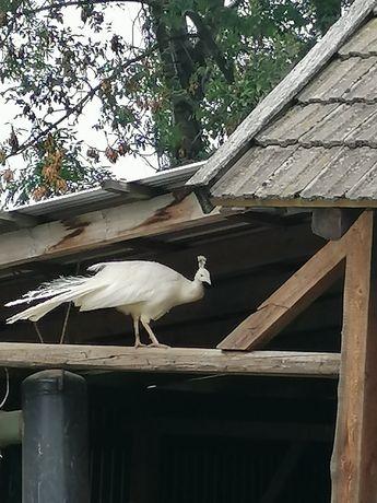 Paw biały samiec