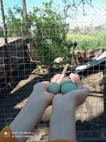 Инкубационные яйца фазана