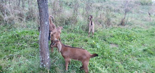 Англо-нубійські козенята