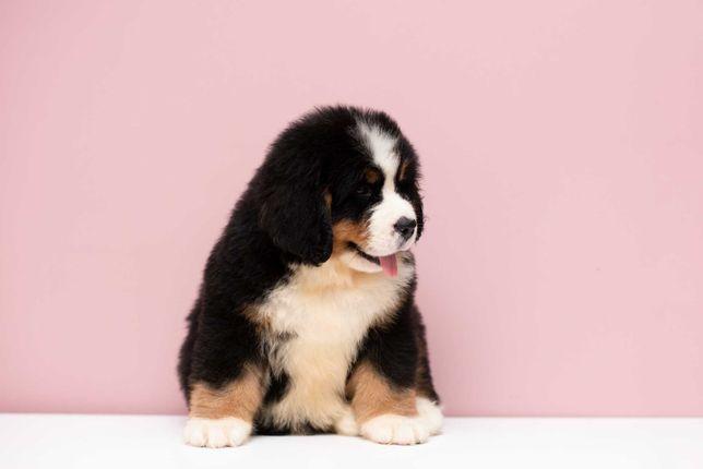 Berneński Pies Pasterski szczenięta FCI ( ZKwP)