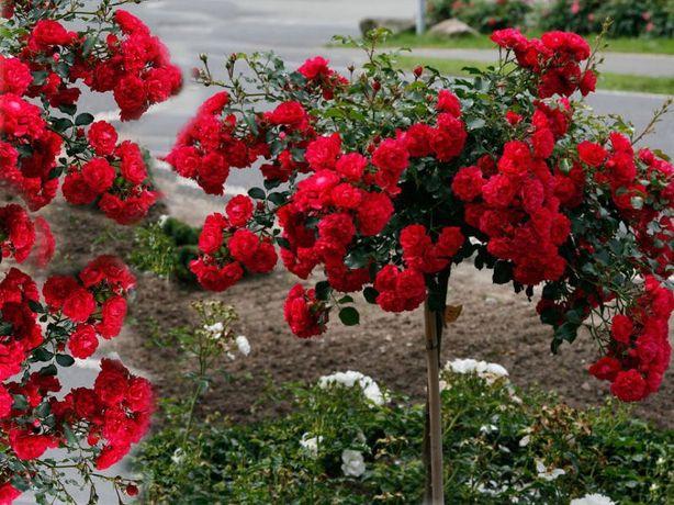 Róża,Róże na paliku, Bordowa centkowana - różne odmiany
