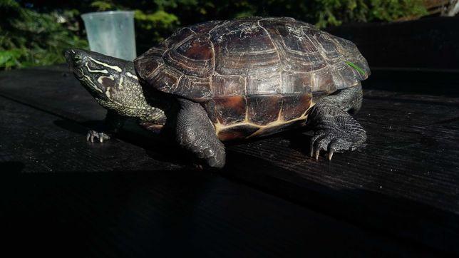 Żółwie wodno-lądowe
