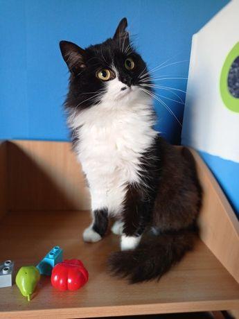 Отдам кошку, пушистая черная в белых носочках, 1 год