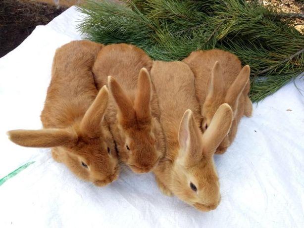 Кролики на племя породы Бургундская
