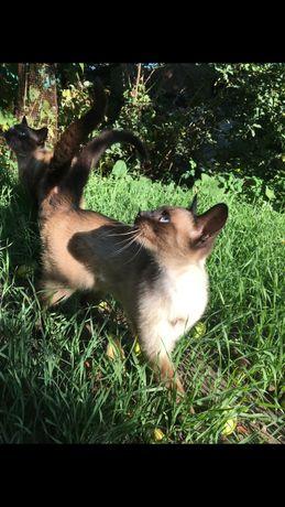 Сиамский кот вязка