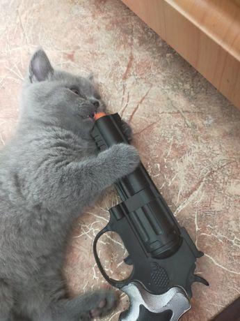 Котик шотландский