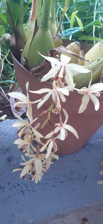 Orquidea bananinha