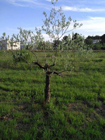Vendo oliveiras para jardim ou outros fins vistosas e bonitas.