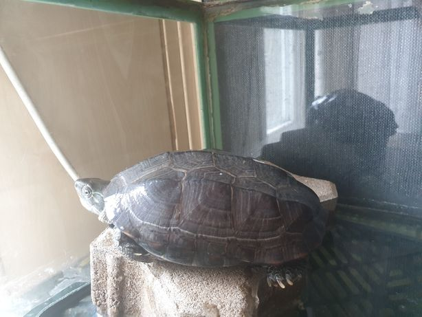 Sprzedam żółwia