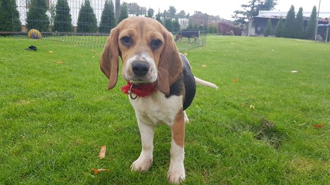 Beagle suczki i pieski