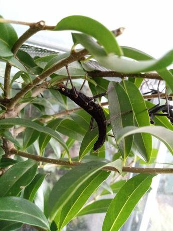 Straszyki diabelskie - straszyki australijskie- Peruphasma shultei