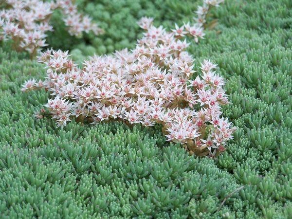 Растения обмен:мята, мелиса, очитки иссоп
