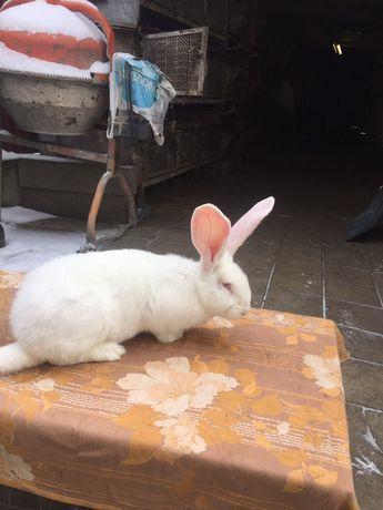 Кролі білий велетень та каліфорнія