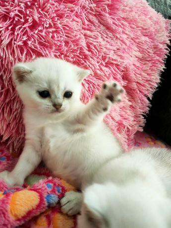 Kot brytyjski srebrny