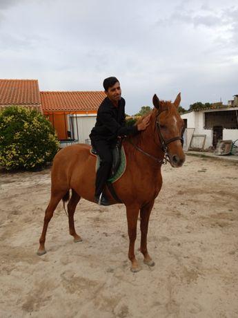 Égua Ben montada luso arabe