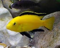 GB MALAWI Pyszczak YELLOW Labidochromis caeruleus od 3zł*/szt