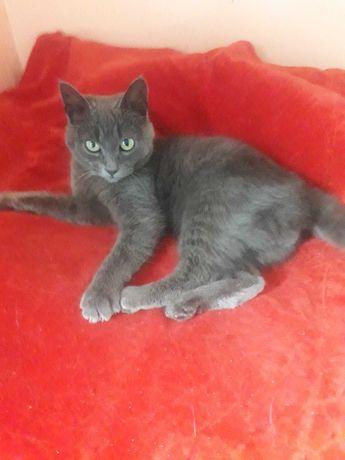 Голубые котята. Есть девочка и мальчик