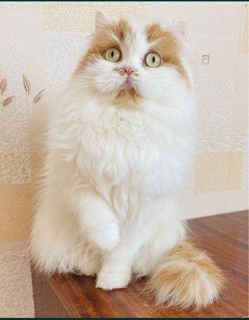 Шотланская кошка
