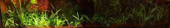 Nurzaniec trawka sadzonki roślinka do akwarium