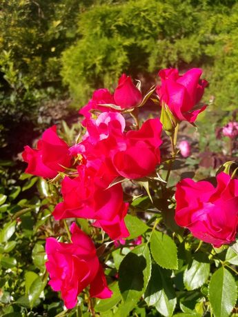 Róże Pink forest rose 2 szt